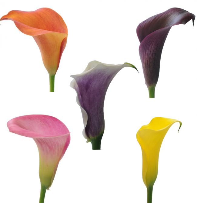 Zantedeschia 5stem